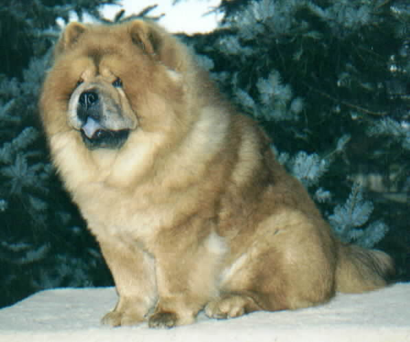 Chow Chow Puppies | Chow Chow Kennel Zung Tzung Le