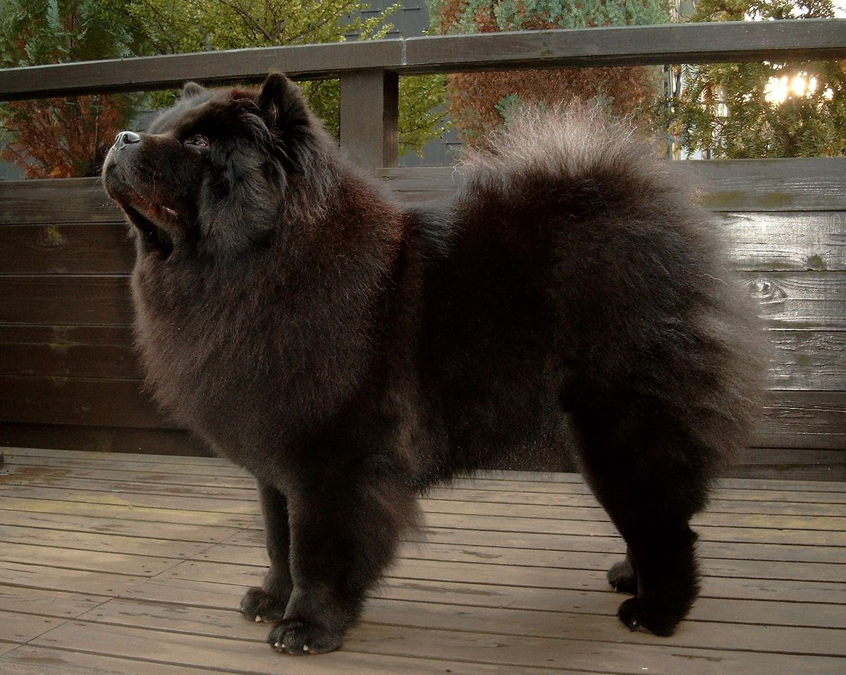 Displaying 15> Images For - Chow Chow Black...
