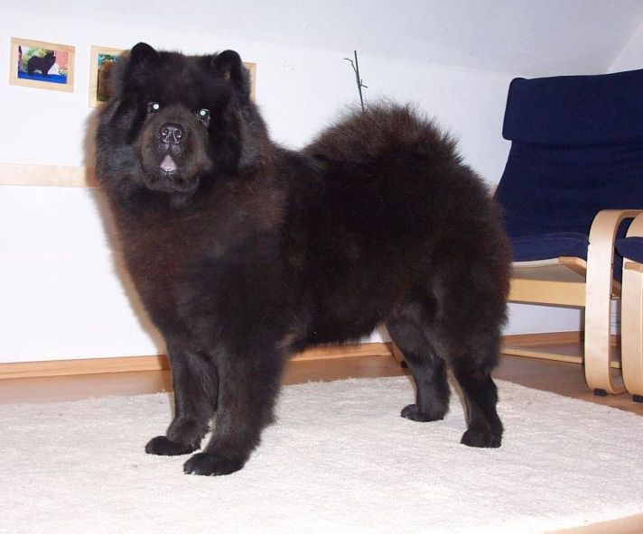 Chow Chow Puppies Chow Chow Kennel Zung Tzung Le