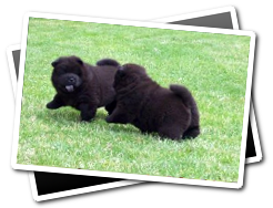 Chow Chow Puppies Playing
