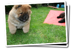 Chow Chow  puppy playing