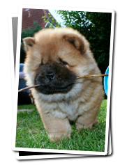 Chow  Chow puppy Dan Hua with stick