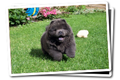 blue Chow  Chow puppies in the Garden